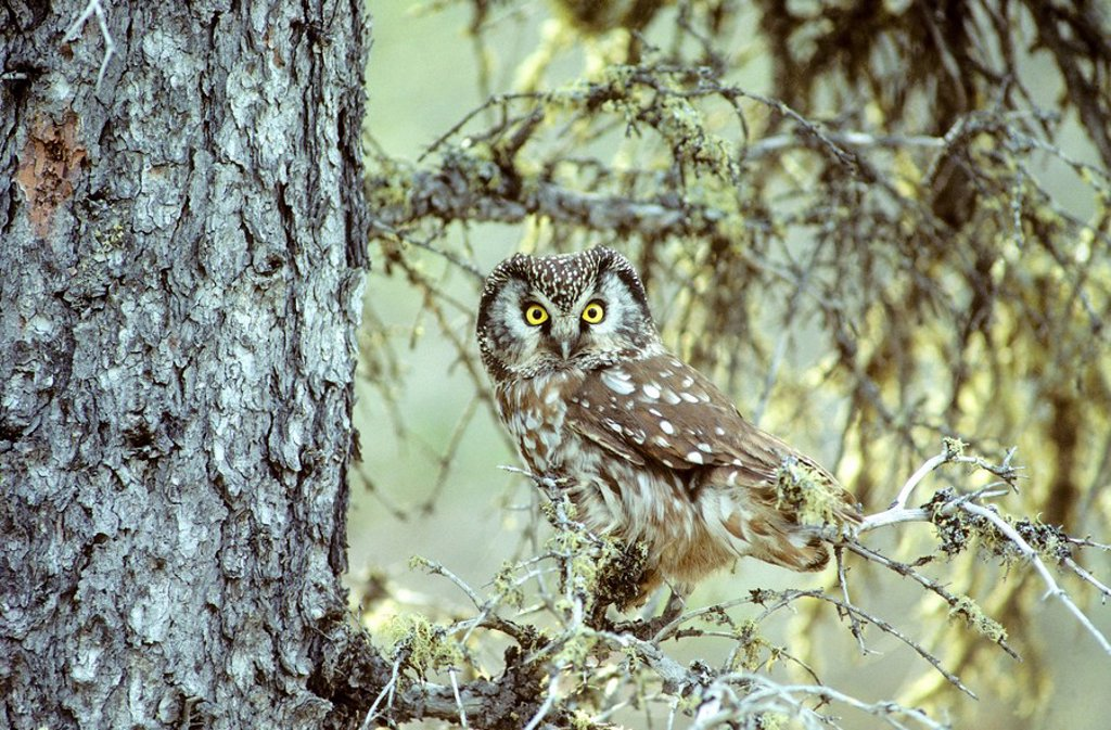 Adult boreal owl Aegolius funereus near its nesting cavity, northern Manitoba, Canada : Stock Photo