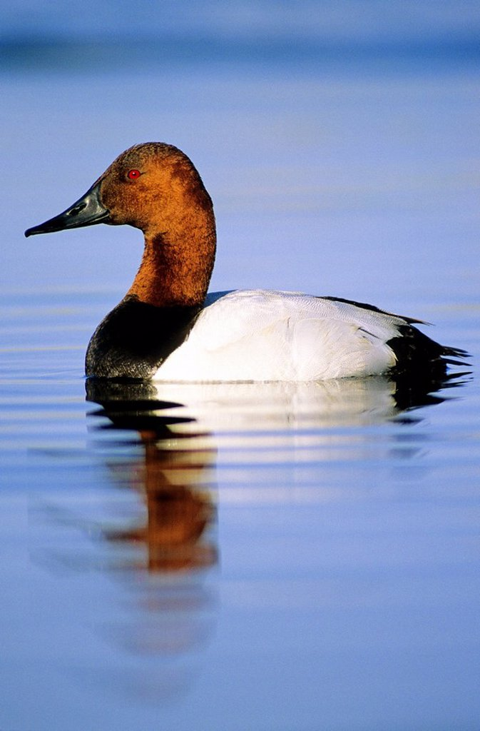 Stock Photo: 1990-10747 Adult drake canvasback duck Aythya valisineria, prairie Alberta, Canada