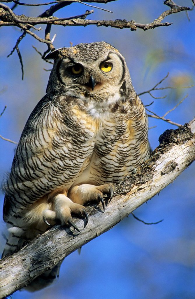 Stock Photo: 1990-10866 Adult great horned owl Bubo virginianus displaying its large taloned feet, Alberta, Canada