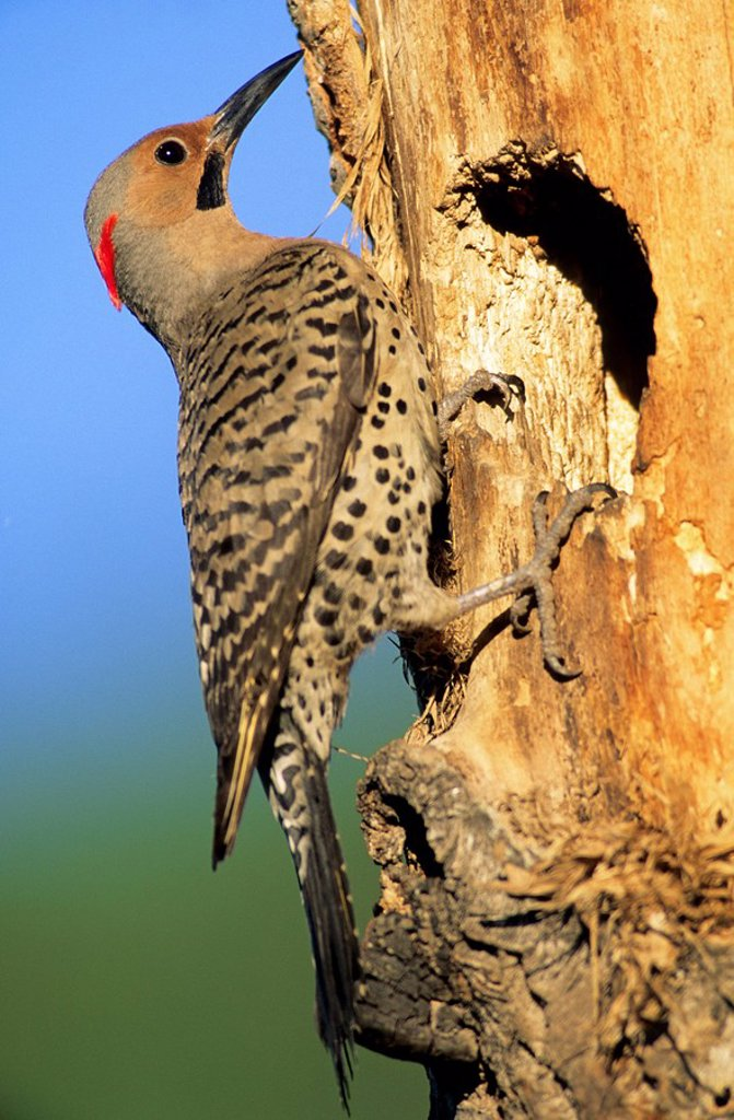 Male northern flicker Colaptes auratus, yellow-shafted race, at the mouth of its cavity nest in an old balsam poplar, Alberta, Canada : Stock Photo