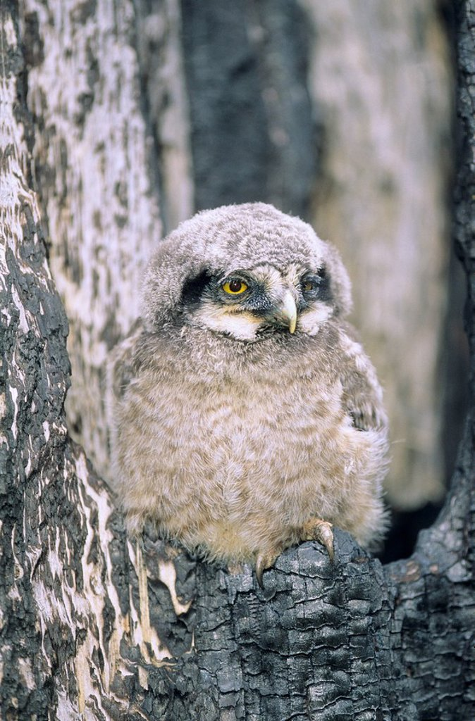 Stock Photo: 1990-11046 Month-old northern hawk owl Surnia ulula chick perched at the mouth of a tree cavity created during a forest fire, northern Alberta, Canada