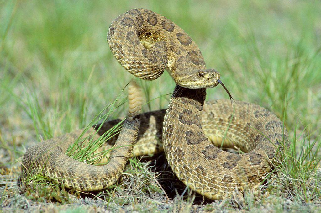 Stock Photo: 1990-11139 Prairie rattlesnake Crotalus viridis in defensive strike posture, prairie Alberta, Canada