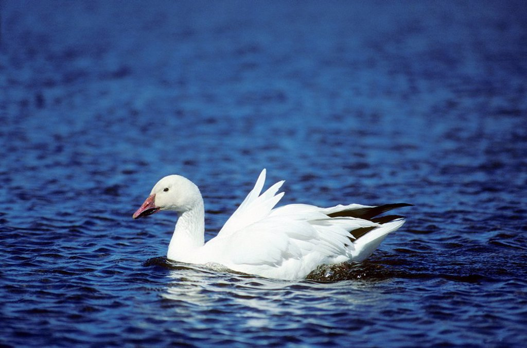 Stock Photo: 1990-11215 Adult snow goose Chen caerulescens swimming in meltwater pond near its arctic nest, northern Manitoba, Canada