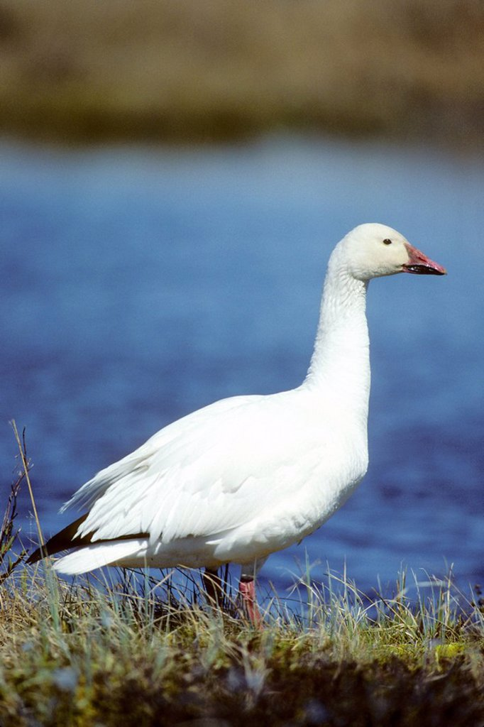 Adult male snow goose Chen caerulescens standing sentry near arctic nest, northern Manitoba, Canada : Stock Photo