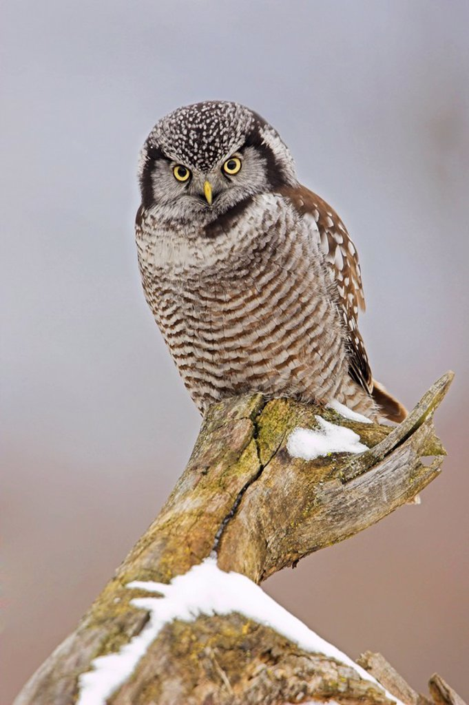 A Northern Hawk-Owl Surnia ulula perched on a stump in Stoney Creek, Ontario Canada : Stock Photo