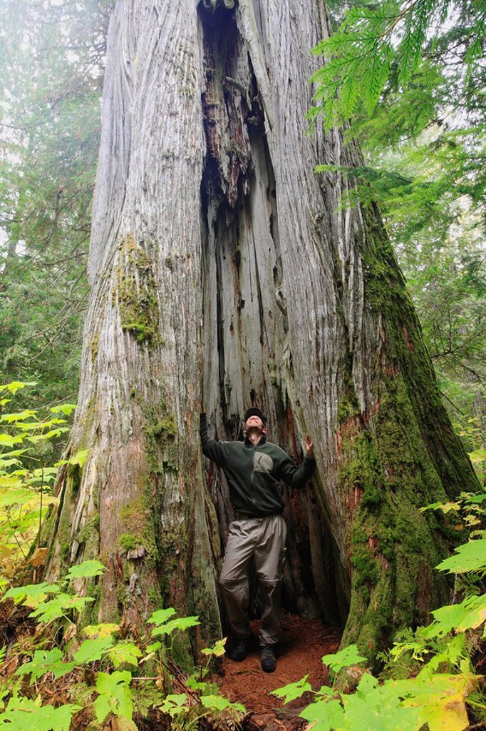 The rotted out cavity of a living gigantic old growth interior red cedar tree is large enough to easily house a grown man  Near Staubert Lake in the Arrow Lakes region of the Kootenays, British Columbia, Canada : Stock Photo