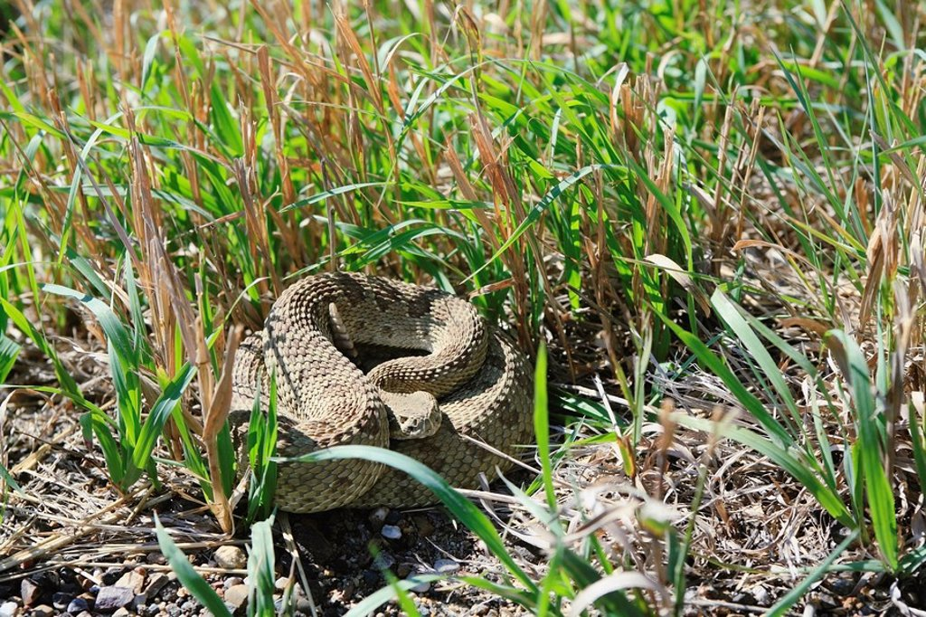 Prairie rattlesnake, mixed shortgrass prairie ecosystem, Canadian Prairies, Alberta, Canada : Stock Photo