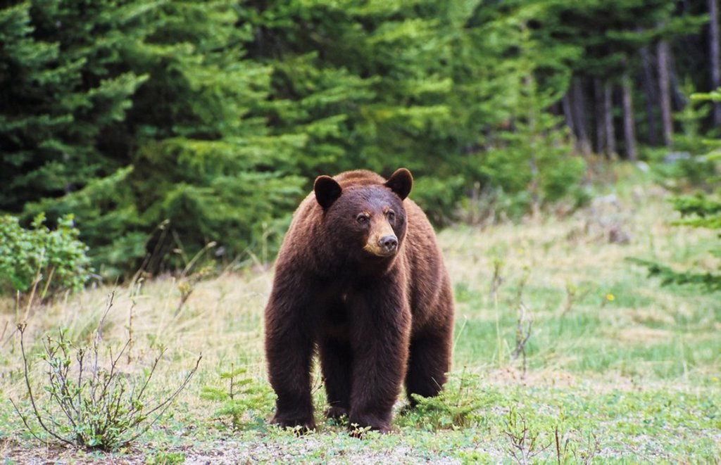Stock Photo: 1990-11950 Cinnamon brown black bear, British Columbia, Canada