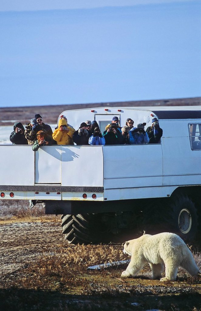 Stock Photo: 1990-11953 Tourists watching a polar bear from a tundra buggy in Churchill, Manitoba, Canada