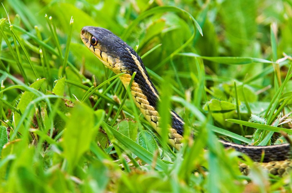 Stock Photo: 1990-11968 Eastern garter snake Thamnophis sirtalis in lawn grass  Lively, Ontario, Canada