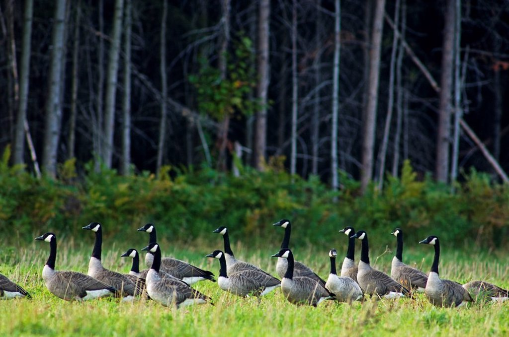 Stock Photo: 1990-11973 Canada geese Branta canadensis Migratory flock bedded down in pasture  Massey, Ontario, Canada