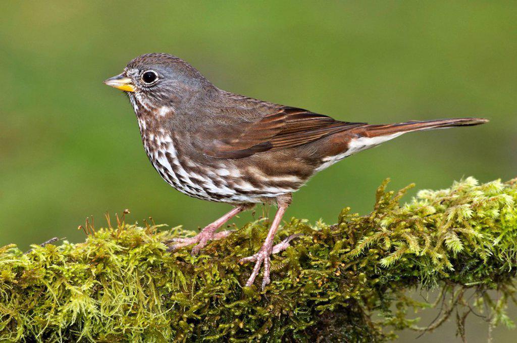 Stock Photo: 1990-12113 Fox Sparrow, Victoria, Vancouver Island, British Columbia, Canada