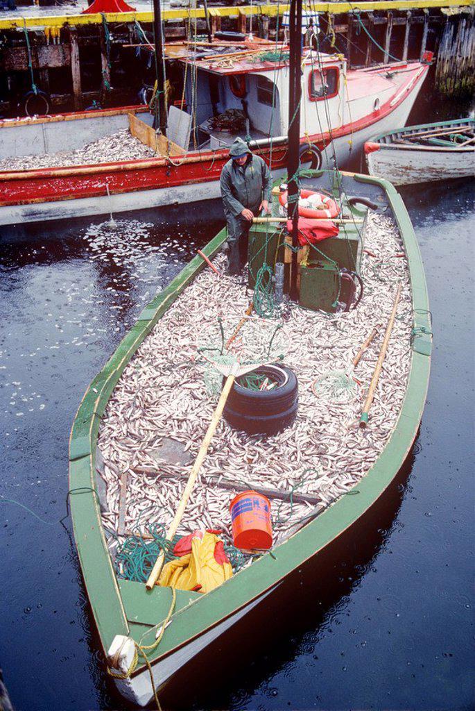 fishing boat full of capelin, Cape Broyle, Newfoundland, Canada : Stock Photo