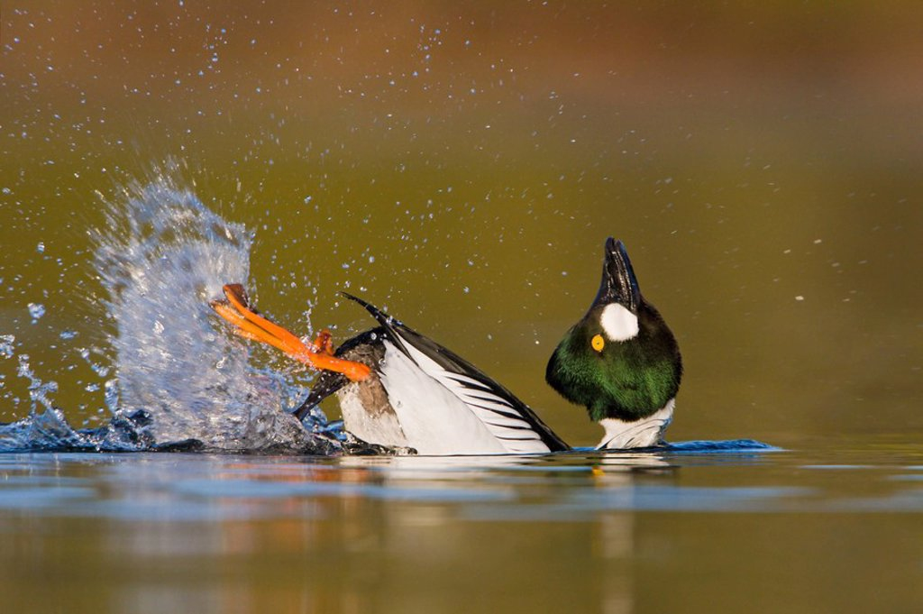 Stock Photo: 1990-12793 A male Common Goldeneye Bucephala clangula performing his courtship behaviour in Victoria, British Columbia, Canada