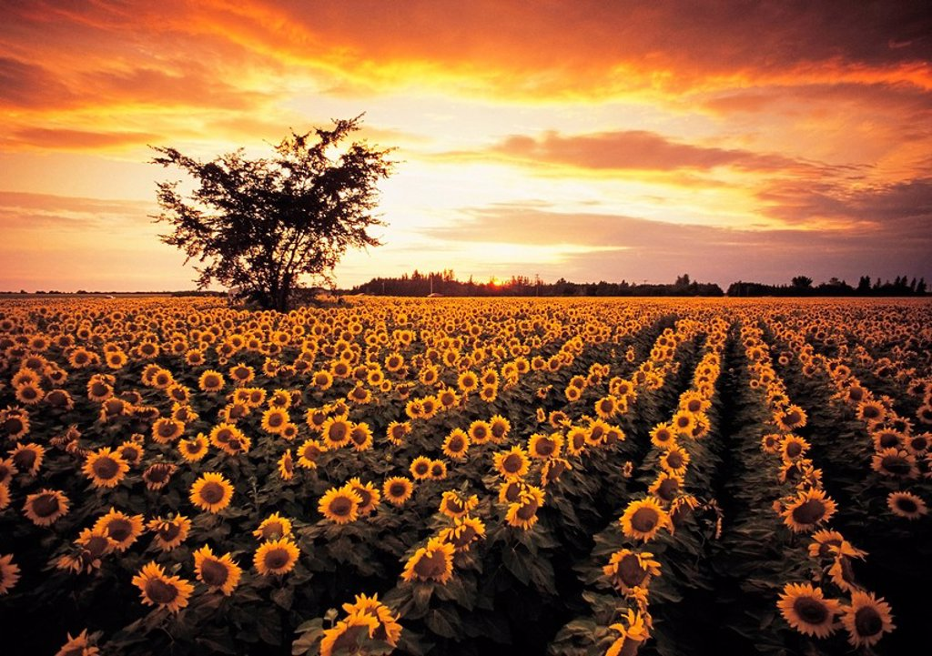 Stock Photo: 1990-12983 sunflower field near Oakbank, Manitoba, Canada