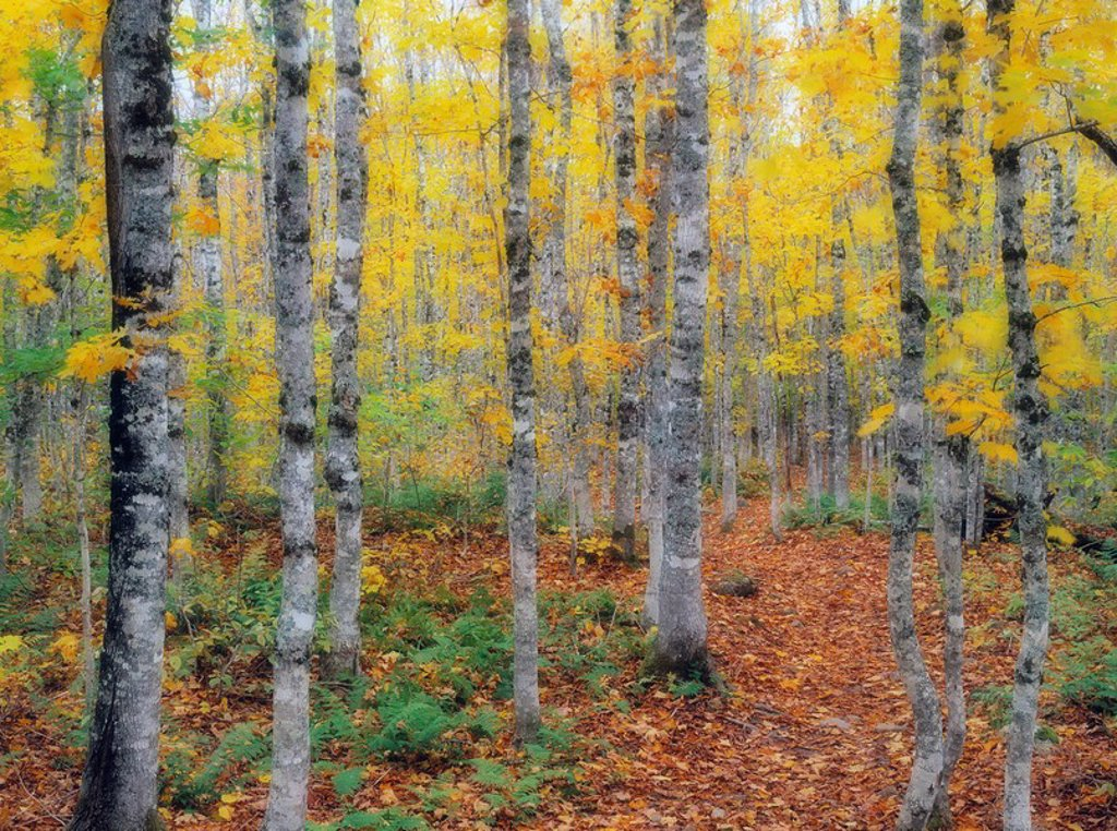 Stock Photo: 1990-13323 Fall Colours, Fundy National Park, New Brunswick, Canada