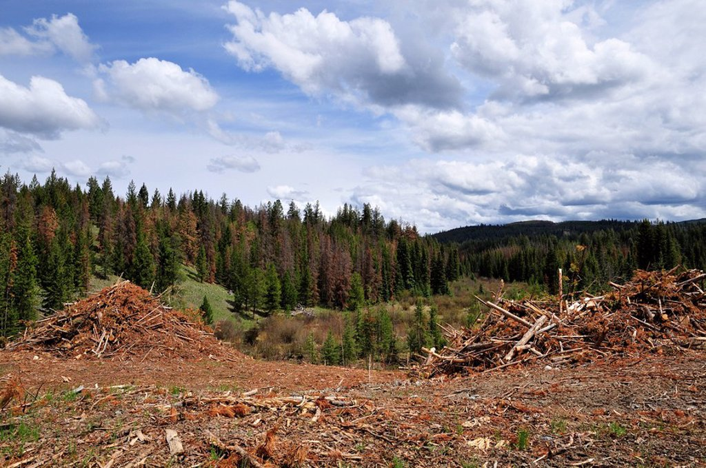 Logging slash in pine beetle devastated area, near Merritt, British Columbia, Canada : Stock Photo
