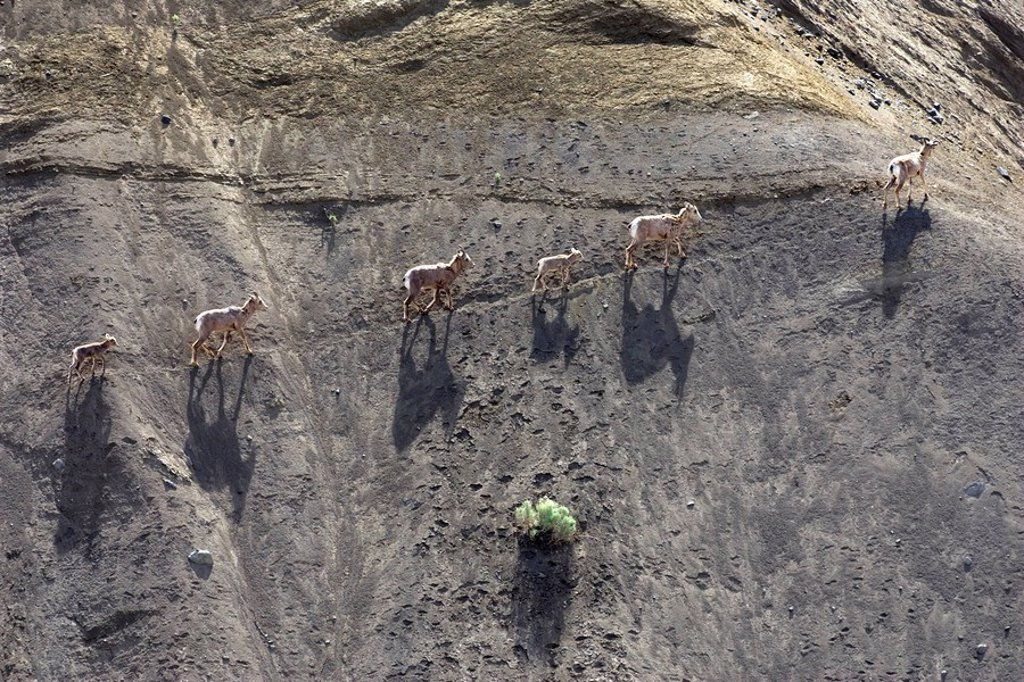 Group of California bighorn sheep Ovis canadensis californiana cross the cliffs at Farwell Canyon in British Columbia, Canada : Stock Photo