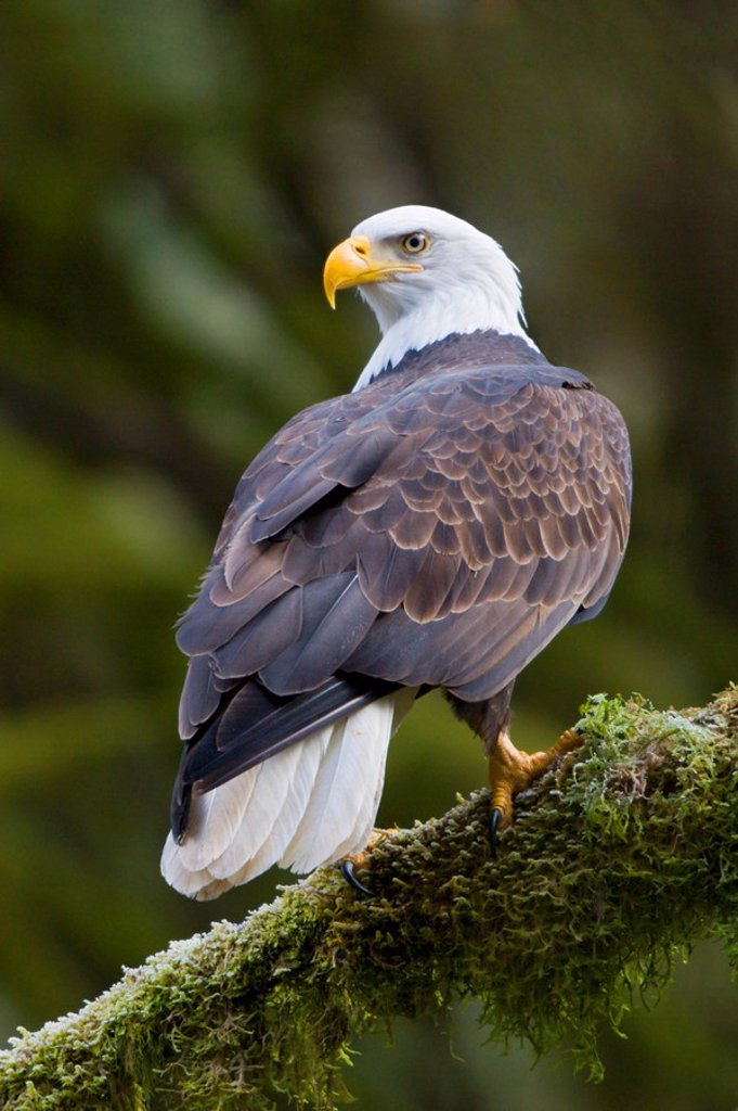 Bald eagle Haliaeetus leucocephalus perched on a mossy branch in Victoria, Vancouver Island, British Columbia, Canada : Stock Photo