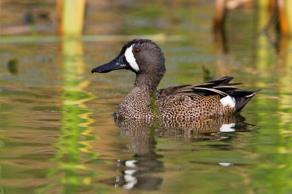 Blue_winged Teal Anas discors swimming at Estero Llano Grande State Park in Texas, USA : Stock Photo