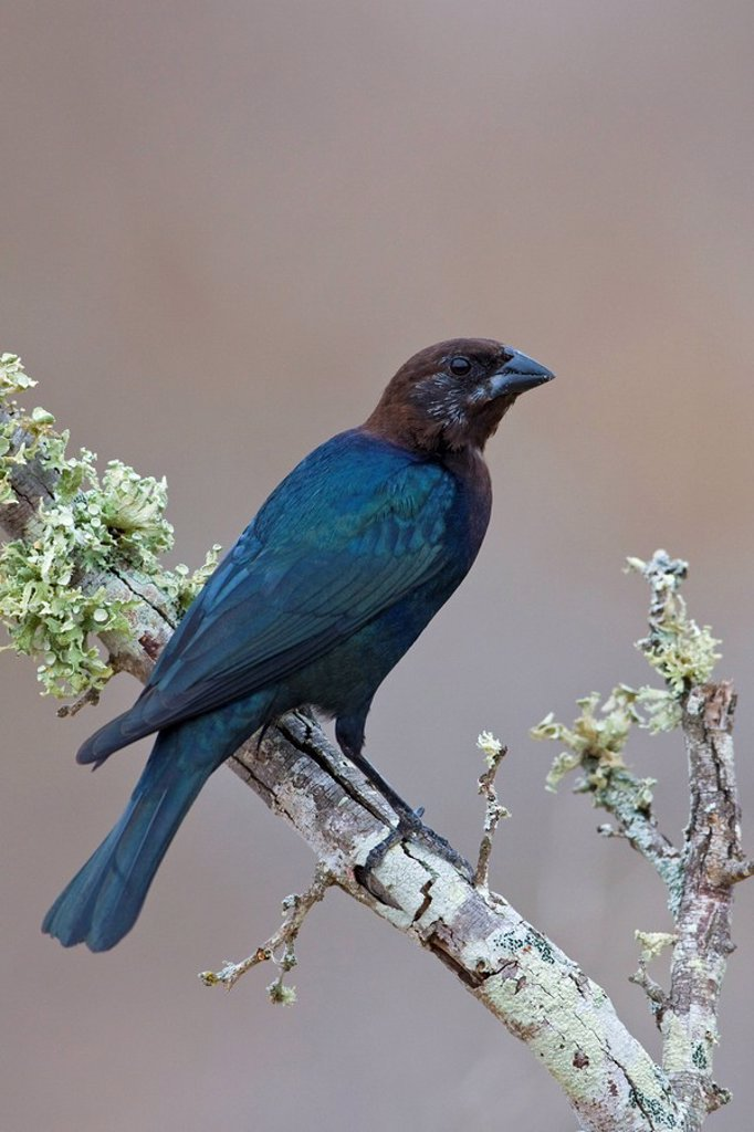Stock Photo: 1990-14175 Brown_headed cowbird Molothrus ater perched on a branch at Falcon State Park, Texas, USA