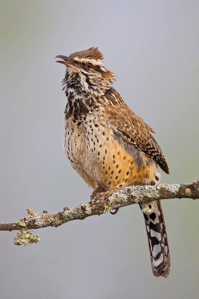 Cactus Wren Campylorhynchus brunneicapillus perched on a branch in Falcon State Park, Texas : Stock Photo