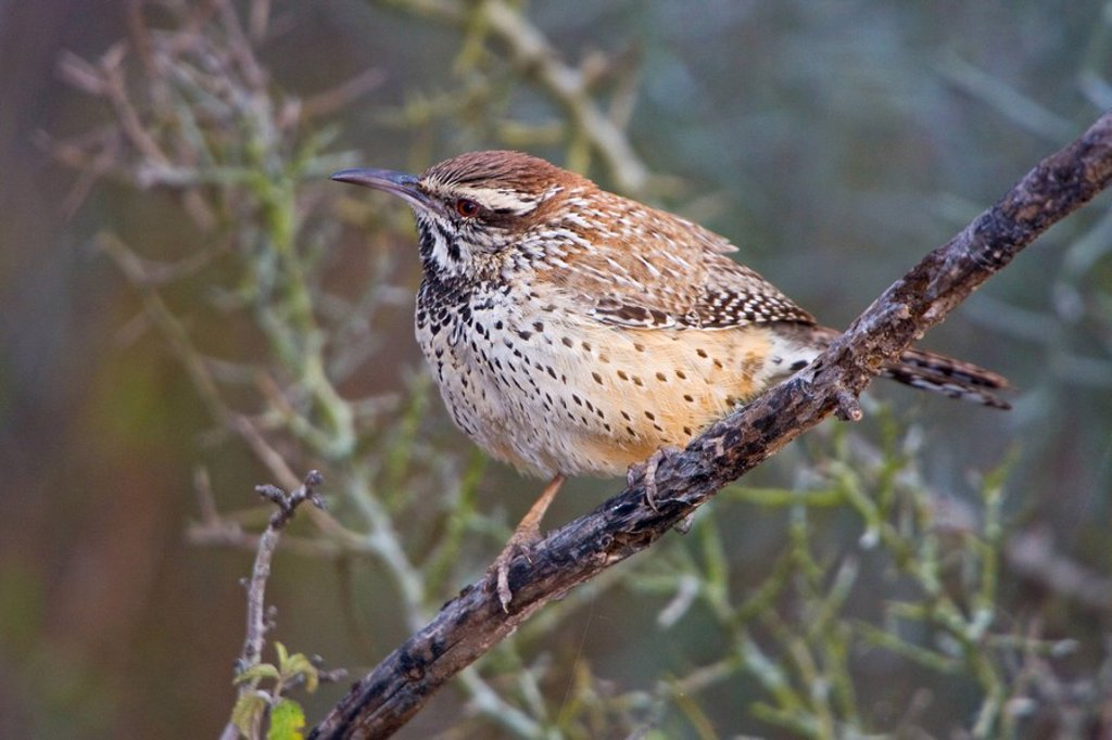 Stock Photo: 1990-14222 Cactus Wren Campylorhynchus brunneicapillus perched on a branch in Falcon State Park, Texas