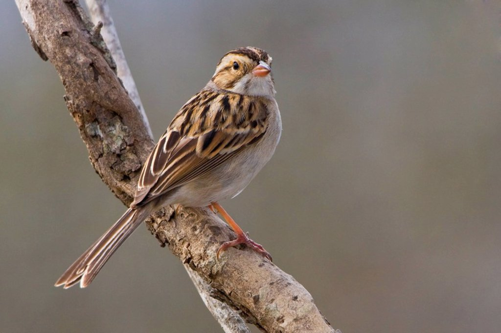 Clay_colored sparrow Spizella pallida perched on a branch at Falcon State Park, Texas, USA : Stock Photo