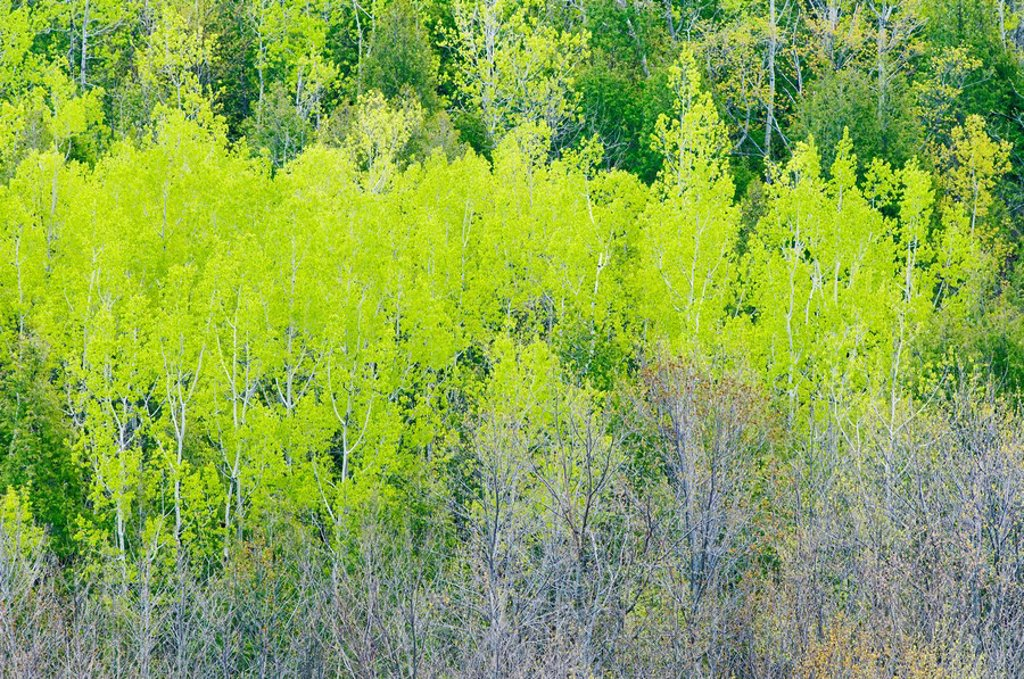 Stock Photo: 1990-14338 Early leaf_out of Poplar, Birch and Maple trees create several shades of green in a spring forest near Hope Bay, Ontario, Canada