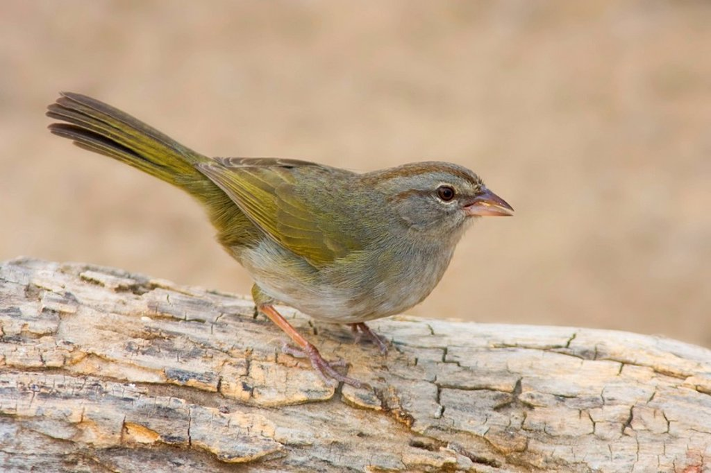Olive Sparrow Arremonops rufivirgatus perched on a branch at Falcon State Park, Texas, USA : Stock Photo