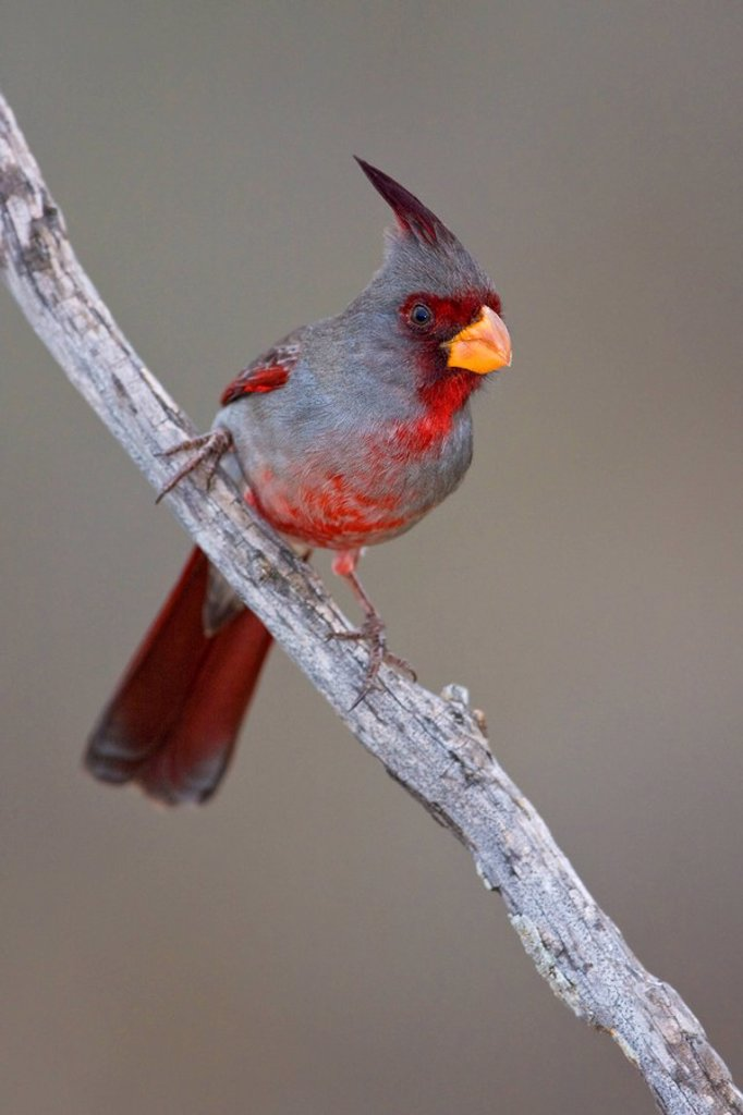 Pyrrhuloxia Cardinalis sinuatus perched on a branch at Falcon State Park, Texas, USA : Stock Photo