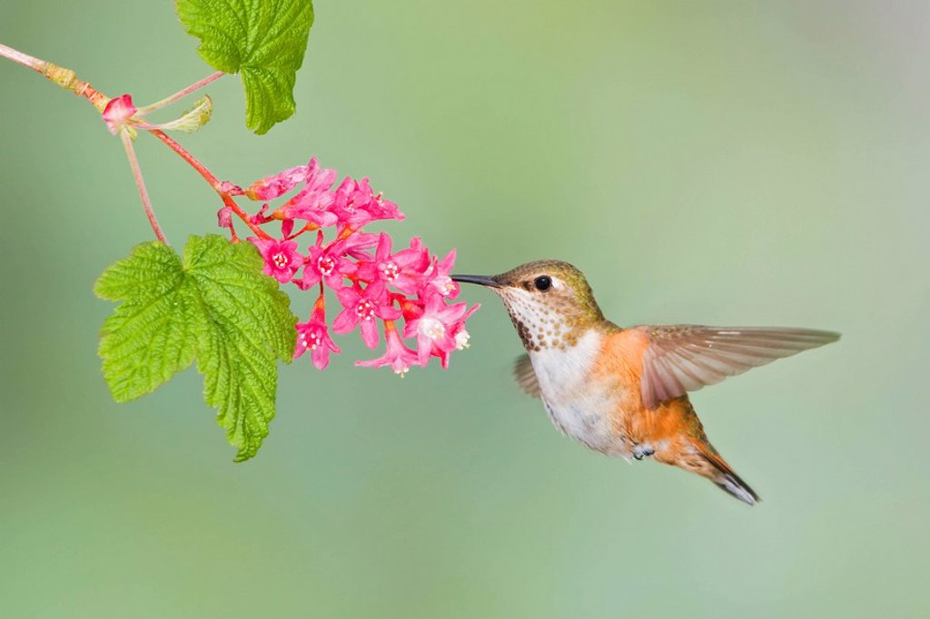 Rufous hummingbird Selasphorus rufus feeding at a red currant blossom in Victoria, Vancouver Island, British Columbia, Canada : Stock Photo