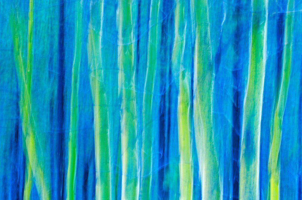 Stock Photo: 1990-14788 Abstract of aspen Populus trees, Waterton Lakes National Park, Alberta, Canada