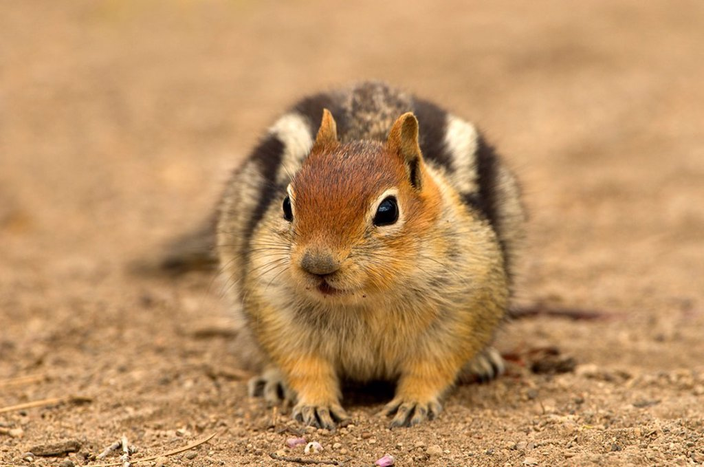 Golden_mantled ground squirrel Spermophilus lateralis at Deschutes National Forest, Oregon, USA : Stock Photo