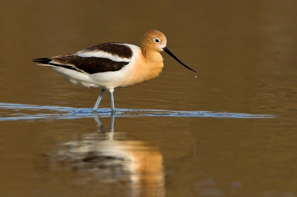 American avocet Recurvirostra americana in farm pond at Moses Lake area in Washington, USA : Stock Photo
