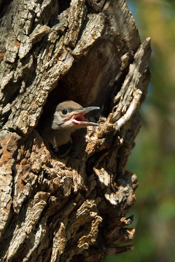 Stock Photo: 1990-15199 A Red_shafted flicker peers out from a nest at Okanagan Falls Provincial Park in British Columbia, Canada