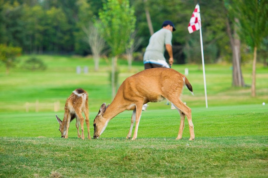 The Columbian black_tailed deer Odocoileus hemionus columbianus on golf course, Comox Valley, Vancouver Island, British Columbia, Canada : Stock Photo