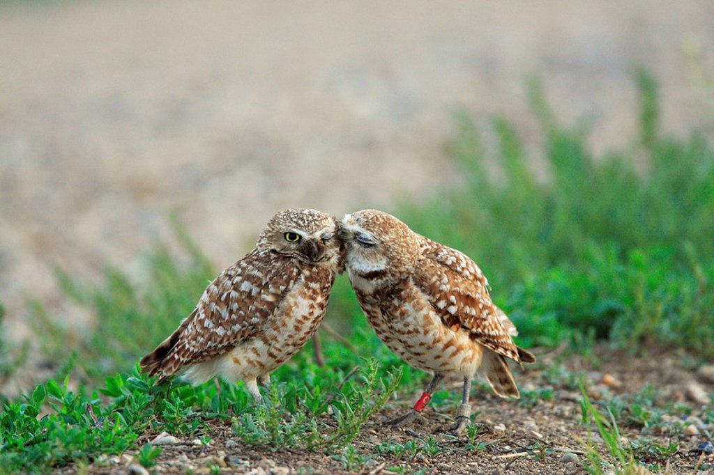 Stock Photo: 1990-16453 Burrowing owls nuzzling each other, Saskatchewan, Canada