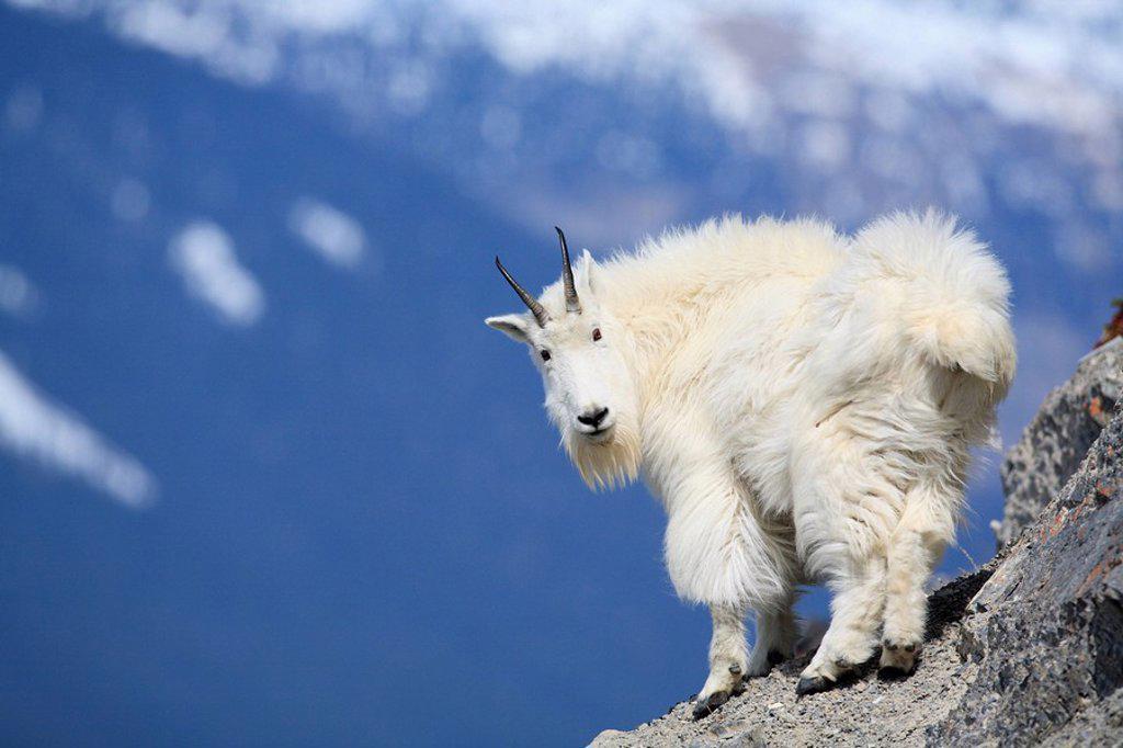 Mountain goat Oreamnos americanus in the Canadian Rockies, Western Canada : Stock Photo