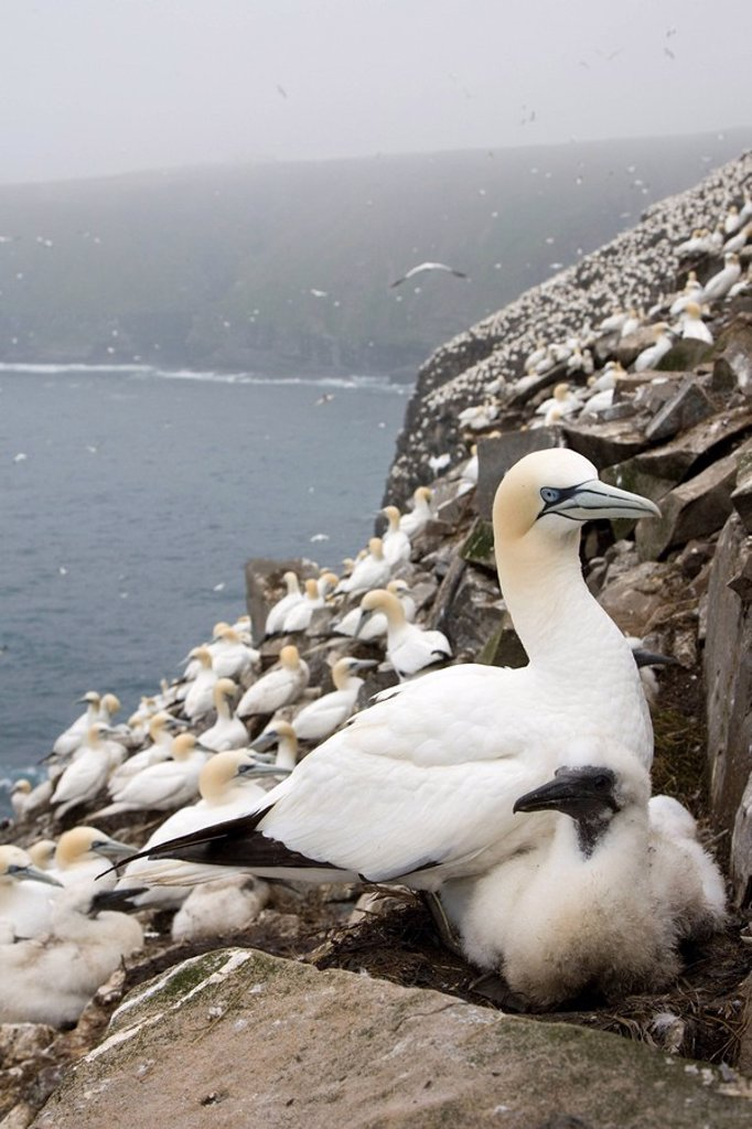 Northern gannet Morus bassanus, adult and chick at nesting colony, Cape St. Mary´s Ecological Reserve, Newfoundland, Canada : Stock Photo