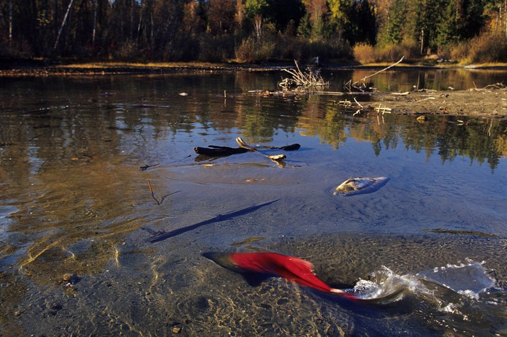 Sockeye salmon Oncorhynchus nerka during fall spawning run, Adams River, British Columbia, Canada : Stock Photo