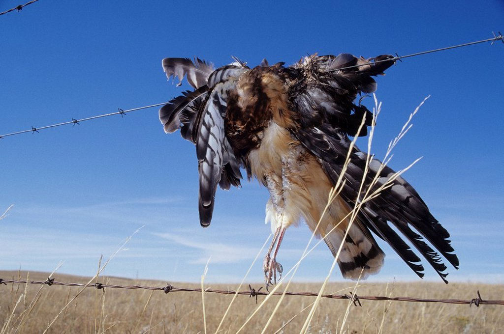 Northern harrier Circus cyaneus impaled on barbed wire fence near Grasslands National Park, Saskatchewan, Canada : Stock Photo