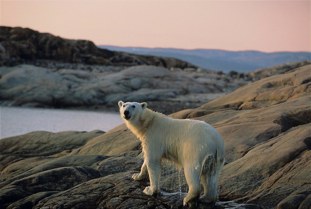 Stock Photo: 1990-17045 Polar bear Ursus maritimus, Ukkusiksalik National Park, Wager Bay, Nunavut, Canada