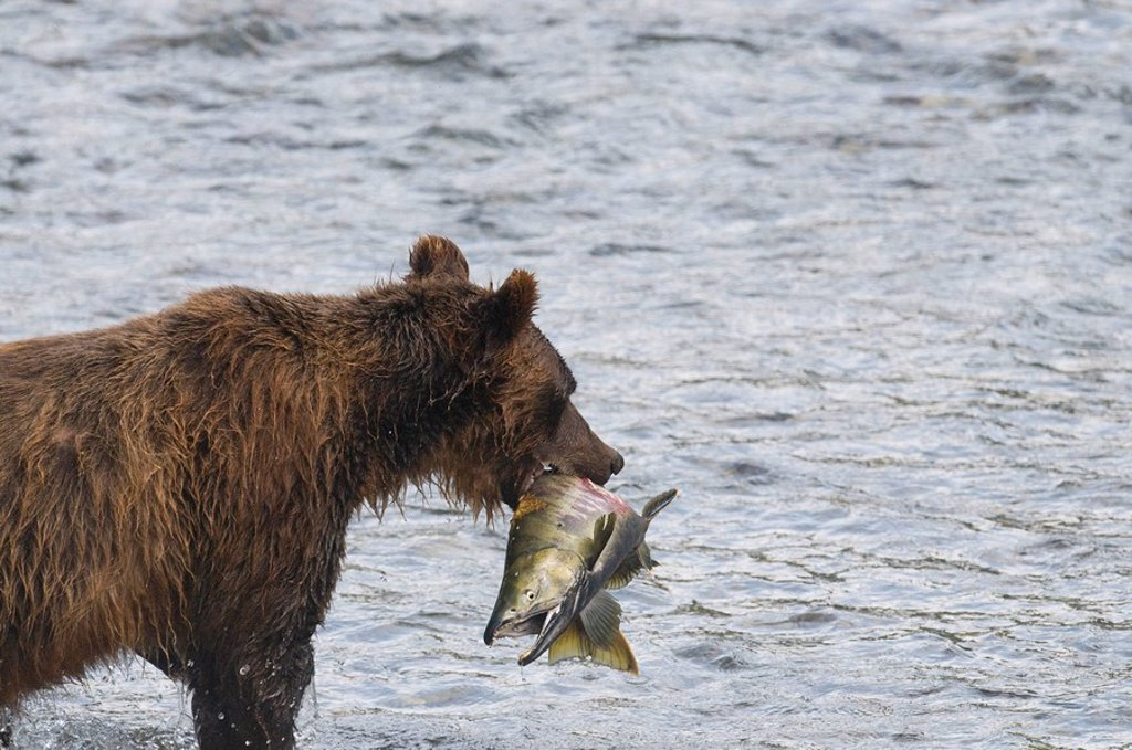 Stock Photo: 1990-17146 Grizzly Bear Ursus arctos horribilis Adult with Chum Oncorhynchus keta Salmon male. During the Salmon Spawn in Costal areas grizzlies frequent stream and rivers to feed in preparation for winter. Bears gain hundreds of kilograms of fat during the spawnimg
