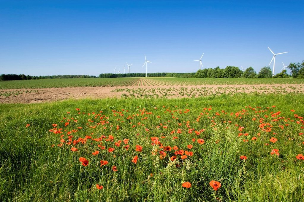 Poppies and wind turbines, Shellburne, Ontario, Canada, wind energy, alternate energy : Stock Photo