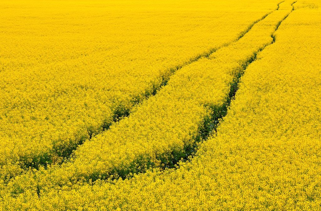 A set of vehicle tracks traveling across the field of canola : Stock Photo