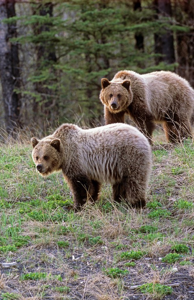 Two juvenile grizzly bears foraging on fresh clover on a sparsely covered hill side in northern Alberta Canada. : Stock Photo