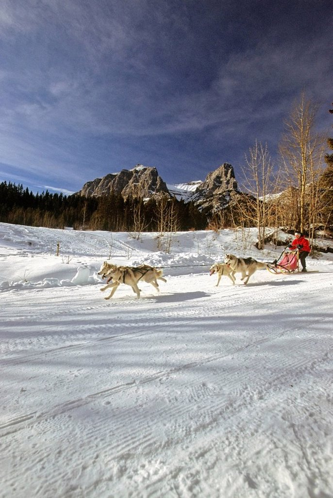 A dog sled race team running on a well packed mountain trail at the nordic center in Canmore Alberta. : Stock Photo