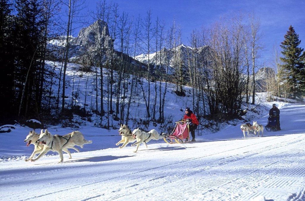 Stock Photo: 1990-18117 A dog sled race team running on a well packed trail at the nordic center in Canmore Alberta.