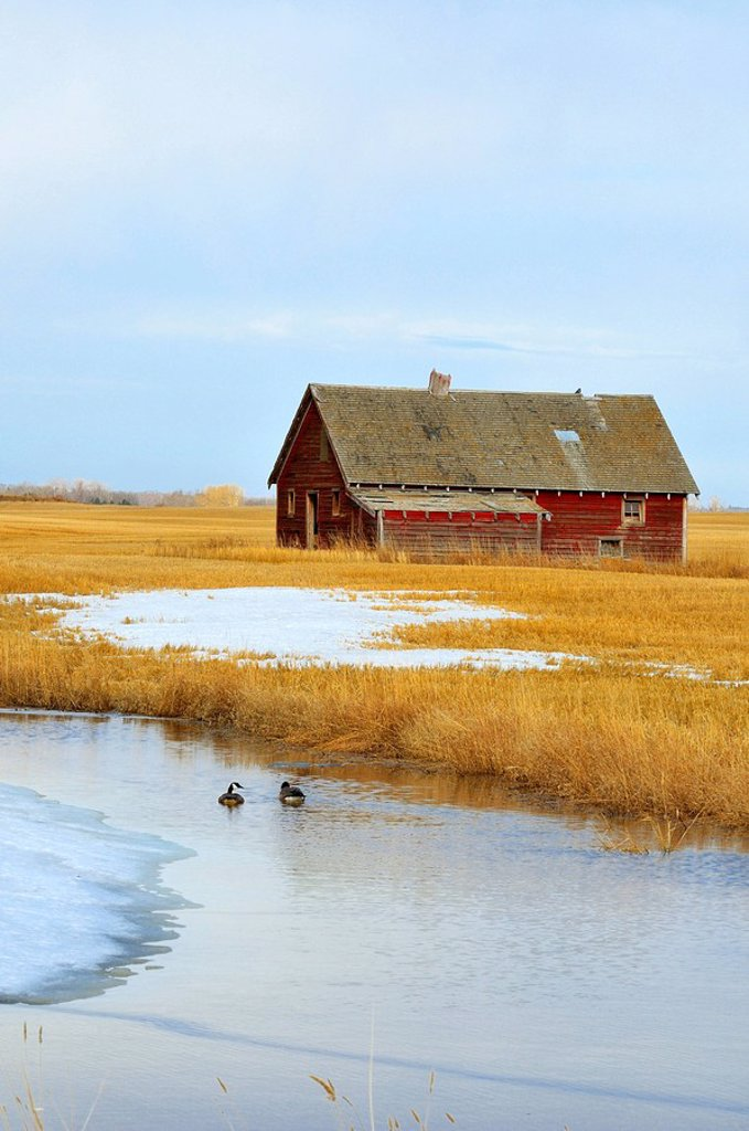 An old red barn sits abandoned on the prairie farmland of rural Alberta being warmed by the spring sunlight as two Canada geese swim in the stock pond. : Stock Photo